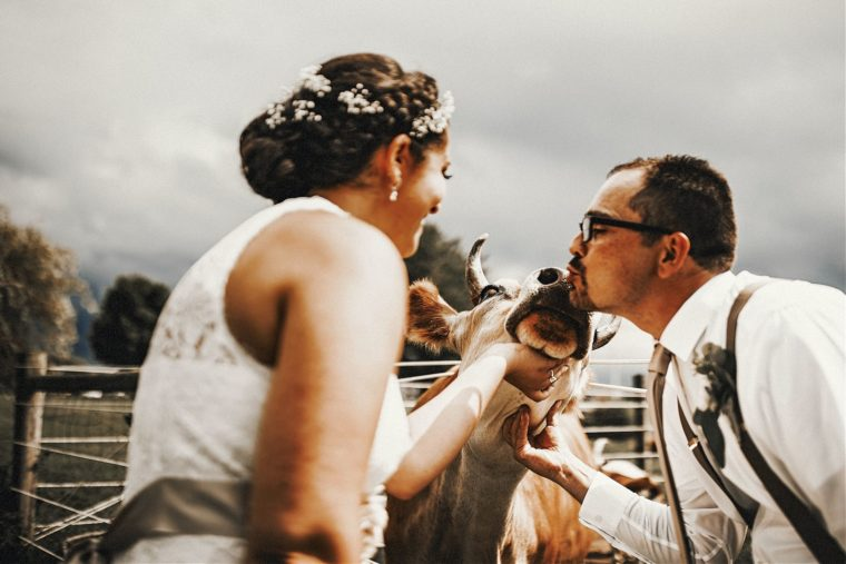 kissing a cow on wedding day